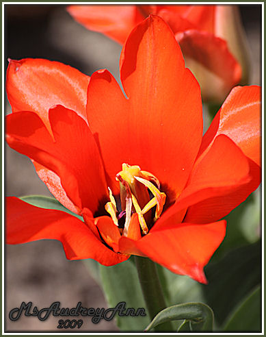 Aad-OrangeTulip-5-3-09-7393