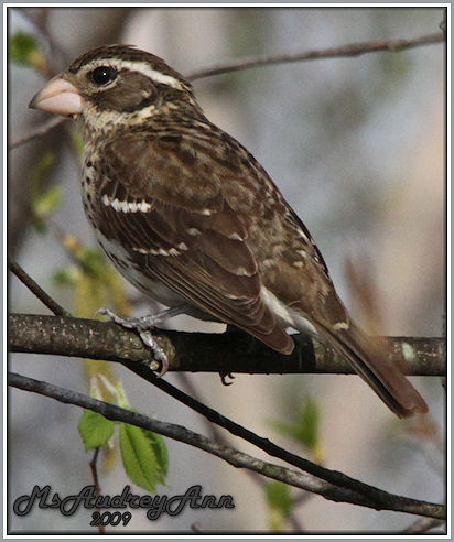 Aad-Rose-BreastedGrosbeak-female-5-6-09-7557
