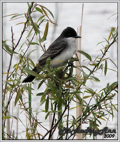 Aad-EasternKingbird-5-9-09-8047