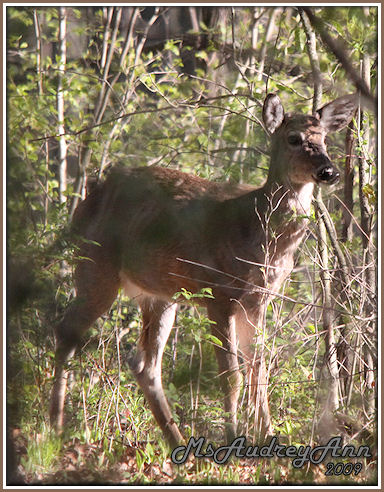 Aad-WhiteTailDeer-male-5-10-09-8097