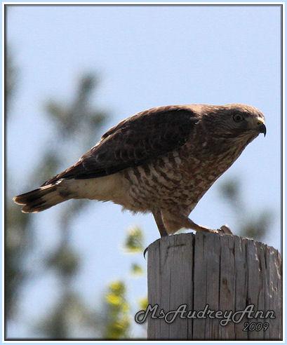 Aad-Broad-WingedHawk-5-10-09-8197