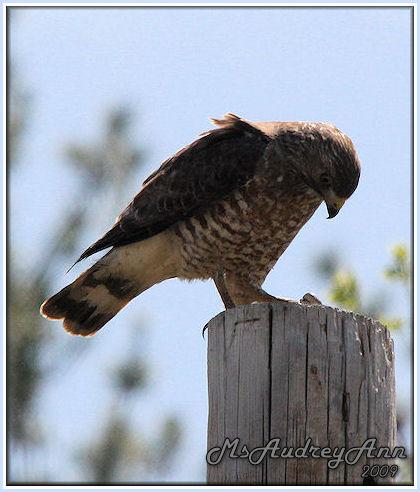 Aad-Broad-WingedHawk-5-10-09-8199