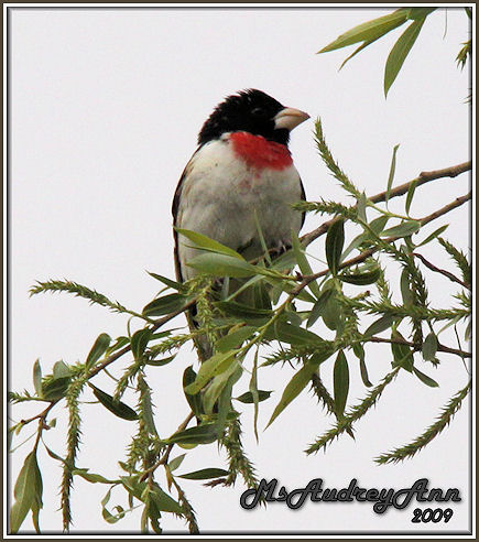 Aad-Rose-BreastedGrosbeak-5-10-09-8164