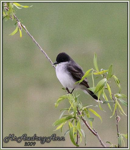 Aad-EasternKingbird-5-11-09-8211