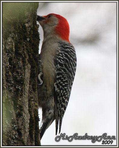 Aad-Red-BelliedWoodpecker-5-13-09-8292