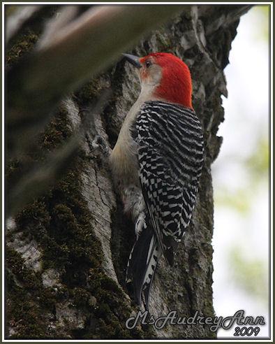 Aad-Red-BelliedWoodpecker-5-13-09-8297