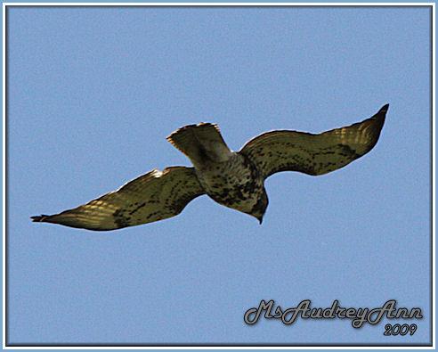 Aad-Red-TailedHawk-immature-5-14-09-8439