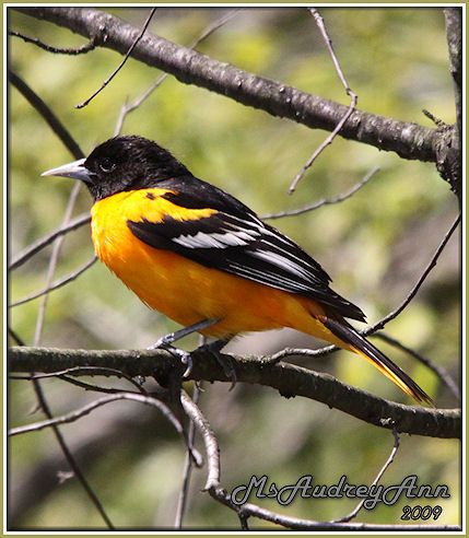Aad-BaltimoreOriole-5-16-09-8503