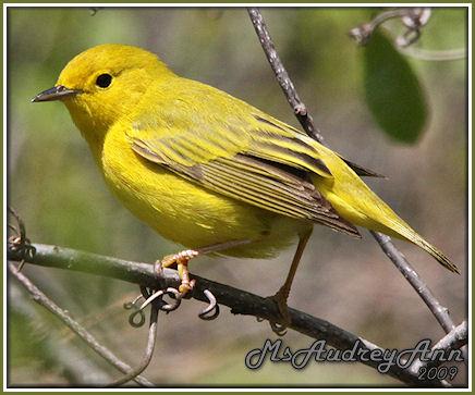 Aad-YellowWarbler-5-16-09-8488