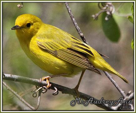Aad-YellowWarbler-5-16-09-8489