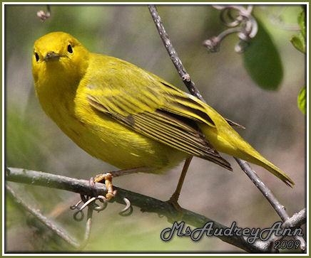 Aad-YellowWarbler-5-16-09-8490