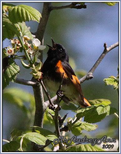 Aad-AmericanRedstartWarbler-male-5-17-09-8604