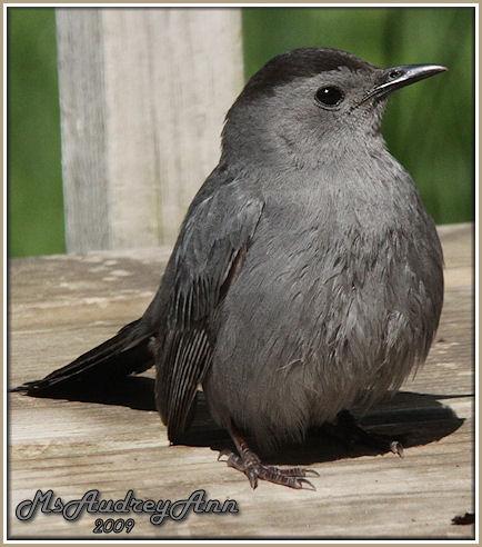 Aad-GrayCatbird-5-18-09-8693