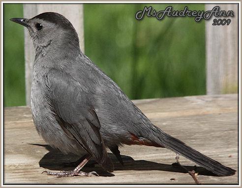 Aad-GrayCatbird-5-18-09-8700