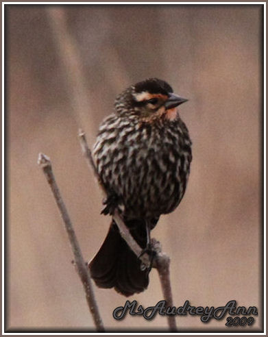 Aad-RedWingedBlackbird-female-3-27-09-5052