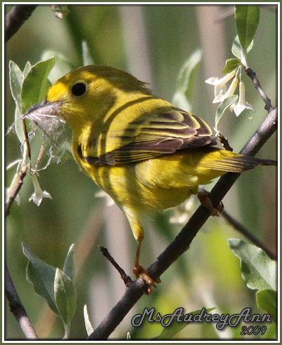 Aad-YellowWarbler-5-29-09-9045