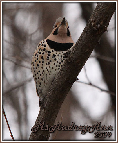 Aad-NorthernFlicker-male-3-28-09-5310