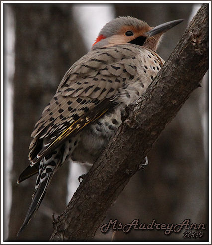 Aad-NorthernFlicker-male-3-28-09-5321