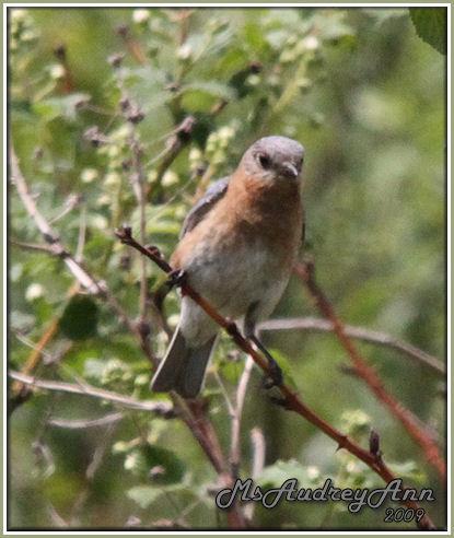 Aad-EasternBluebird-5-31-09-9334