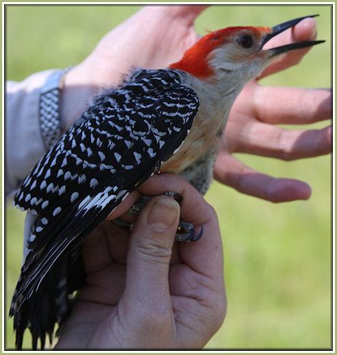 Aad-Red-BelliedWoodpecker-4-6-09-9786
