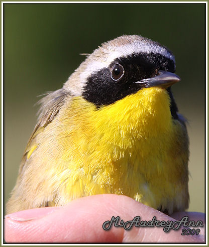 Aad-CommonYellowthroatWarbler-male-6-4-09-9716