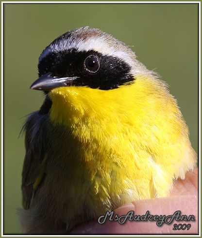 Aad-CommonYellowthroatWarbler-male-6-4-09-9718