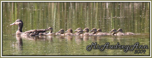 Aad-Mallard-female-duckings-6-5-09-9821