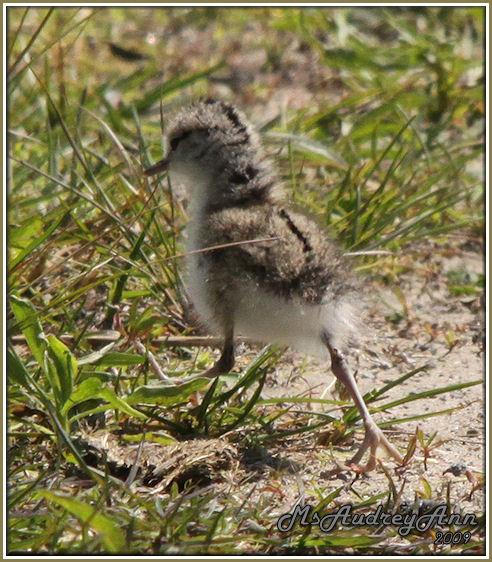 Aad-SpottedSandpiper-fledgling-6-5-09-9924