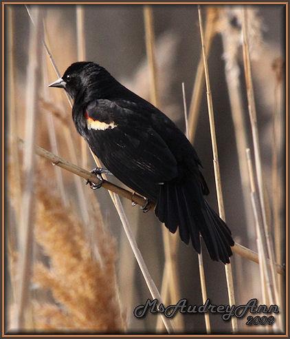 Aad-RedWingedBlackbird-male-4-2-09-5526