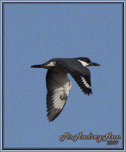 Aad-BeltedKingfisher-4-5-09-5709