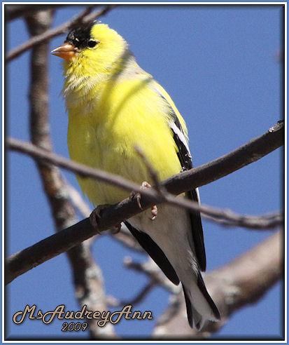 Aad-AmericanGoldfinch-male-4-12-09-6038
