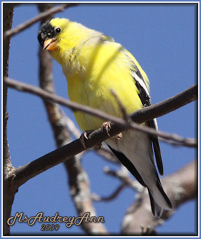 Aad-AmericanGoldfinch-male-4-12-09-6040