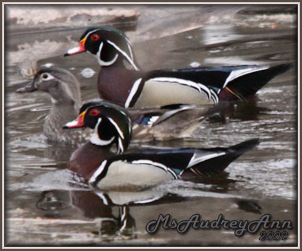 Aad-WoodDuckPair-4-13-09-6090