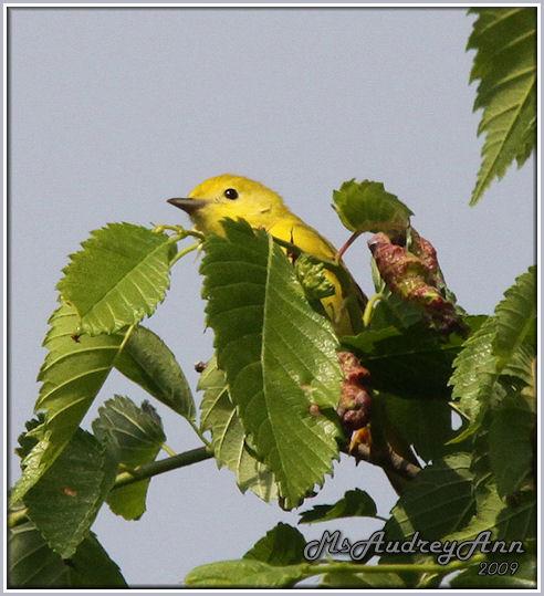 Aad-YellowWarbler-6-6-09-0037