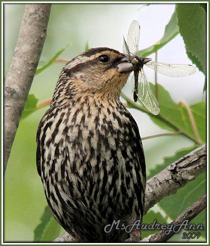 Aad-Red-WingedBlackbird-female-6-9-09-0198