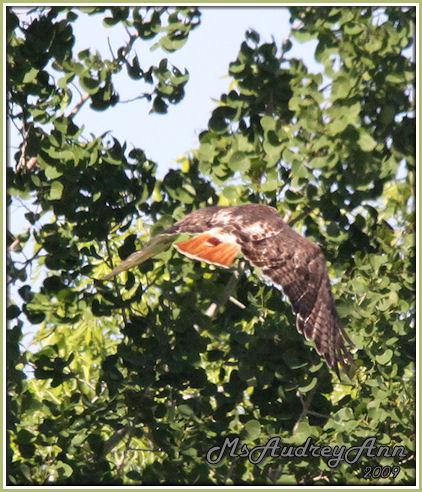 Aad-RedTailed-Hawk-6-9-09-0083