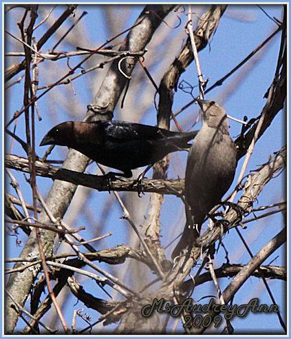 Aad-BrownHeadedCowbird-Pair-4-16-09-6389