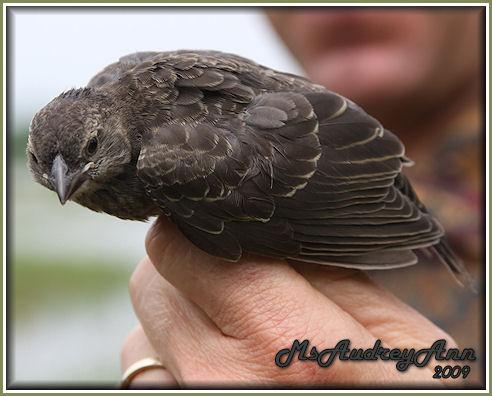 Aad-Brown-HeadedCowbird-female-6-11-09-0245
