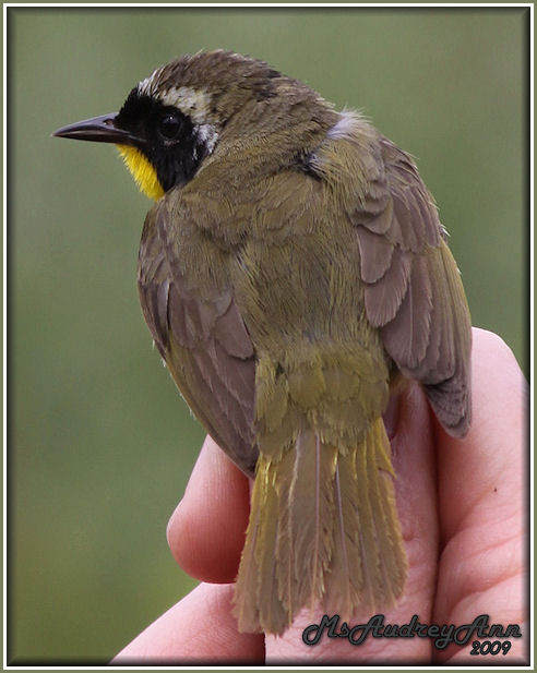 Aad-CommonYellowthroatWarbler-6-11-09-0236