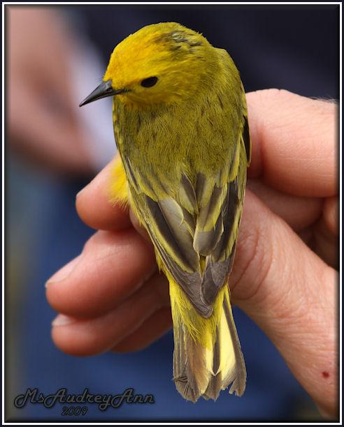 Aad-YellowWarbler-6-11-09-0259