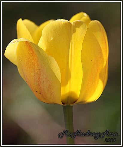 Aad-Tulip-Yellow-4-28-09-6900