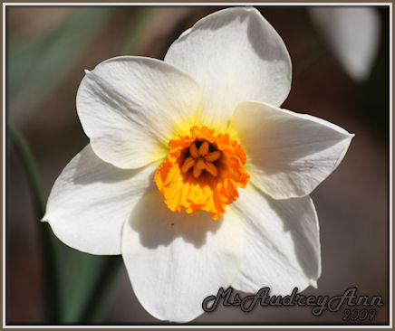 Aad-Daffodil-White-Orange-4-28-09-6933