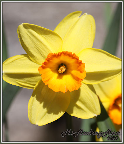 Aad-Daffodil-Yellow-Orange-4-28-09-6926