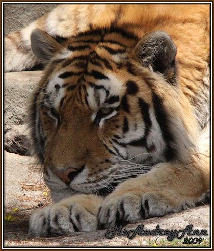 Aad-Tiger-4-29-09-6967