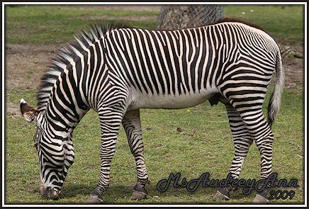 Aad-Zebra-4-29-09-7015