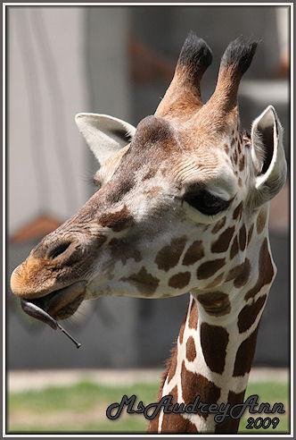 Aad-Giraffe-4-29-09-7020