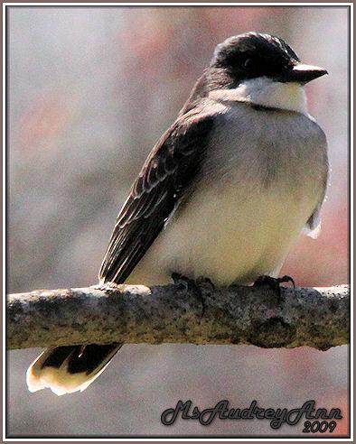 Aad-EasternKingbird-5-2-09-7266