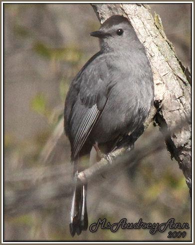 Aad-GrayCatbird-5-3-09-7313