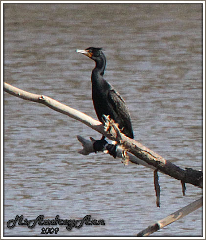 Aad-Double-Crested Cormorant-5-3-09-7297A