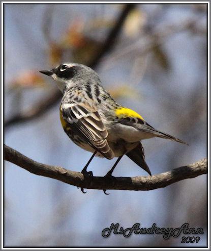 Aad-Yellow-RumpedWarbler-5-3-09-7364